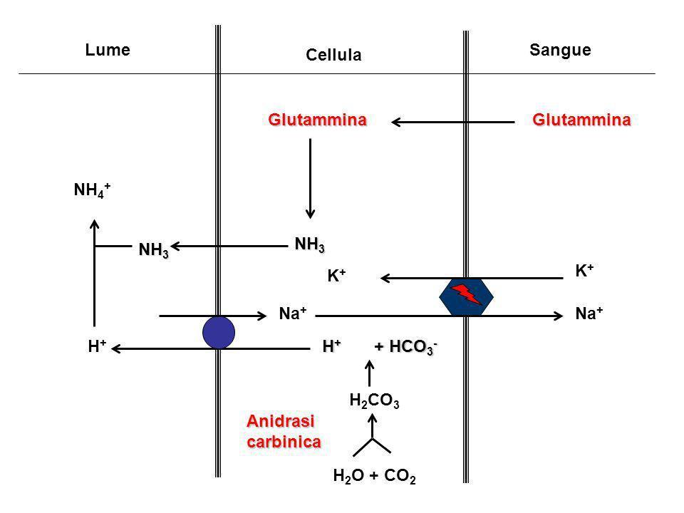 Lume Cellula. Sangue. Glutammina. NH3. NH4+ Na+ K+ Na+ H+ H2O + CO2. H+ + HCO3- H2CO3.