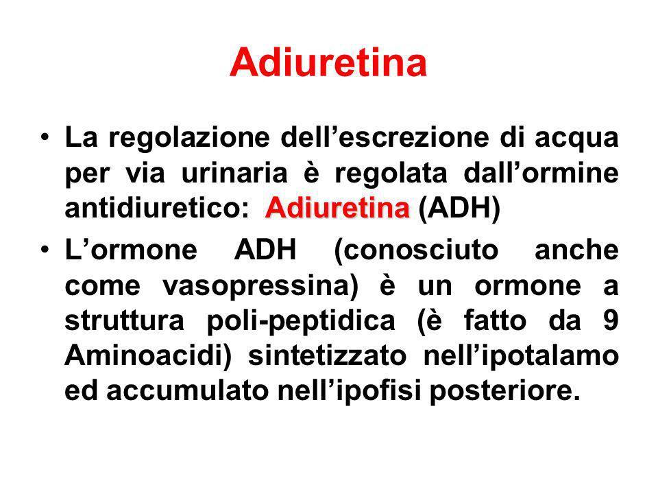 Adiuretina La regolazione dell'escrezione di acqua per via urinaria è regolata dall'ormine antidiuretico: Adiuretina (ADH)
