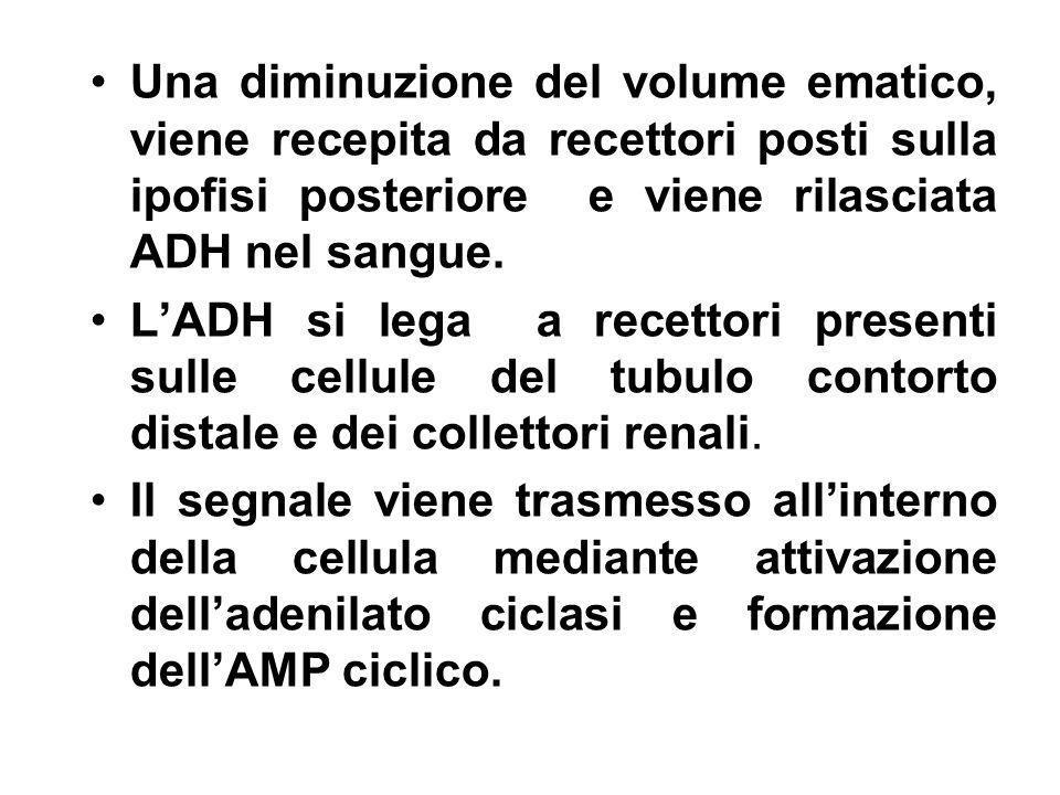 Una diminuzione del volume ematico, viene recepita da recettori posti sulla ipofisi posteriore e viene rilasciata ADH nel sangue.