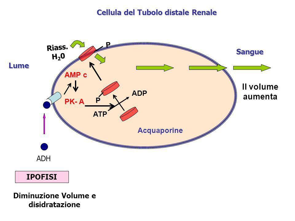 Cellula del Tubolo distale Renale Diminuzione Volume e disidratazione