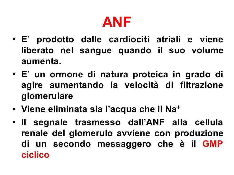 ANFE' prodotto dalle cardiociti atriali e viene liberato nel sangue quando il suo volume aumenta.