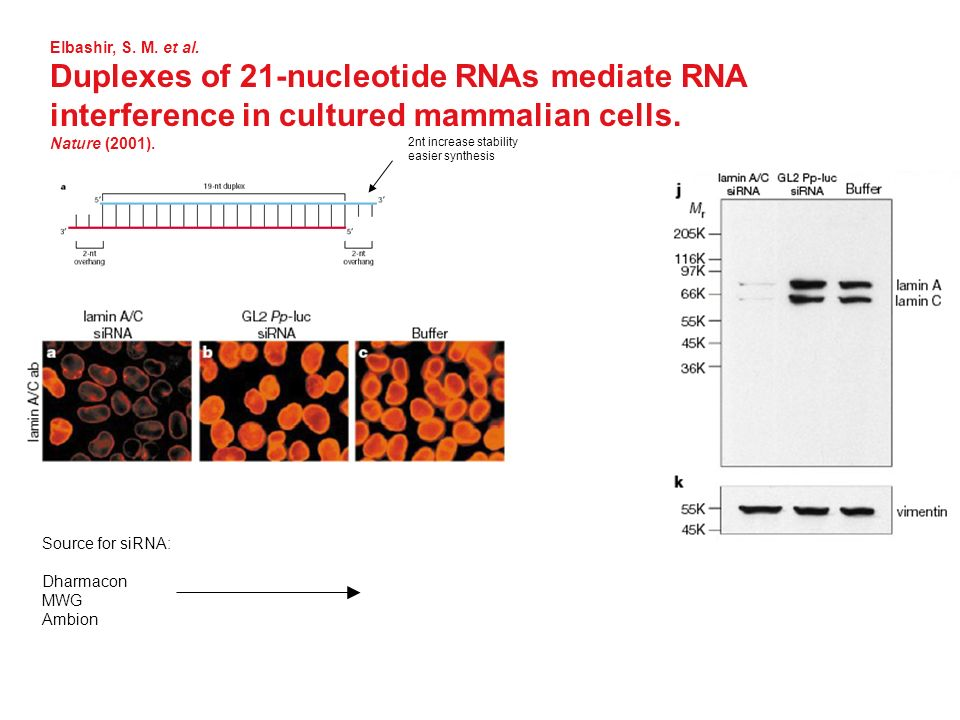 Elbashir, S. M. et al. Duplexes of 21-nucleotide RNAs mediate RNA interference in cultured mammalian cells.