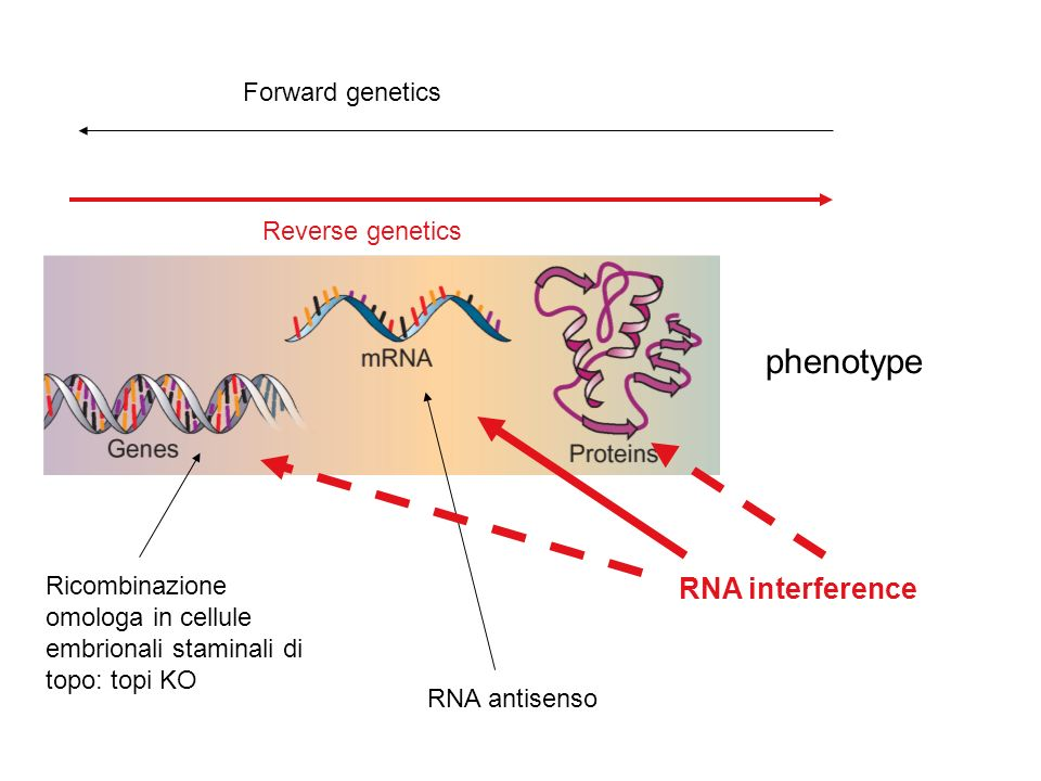 phenotype RNA interference Forward genetics Reverse genetics