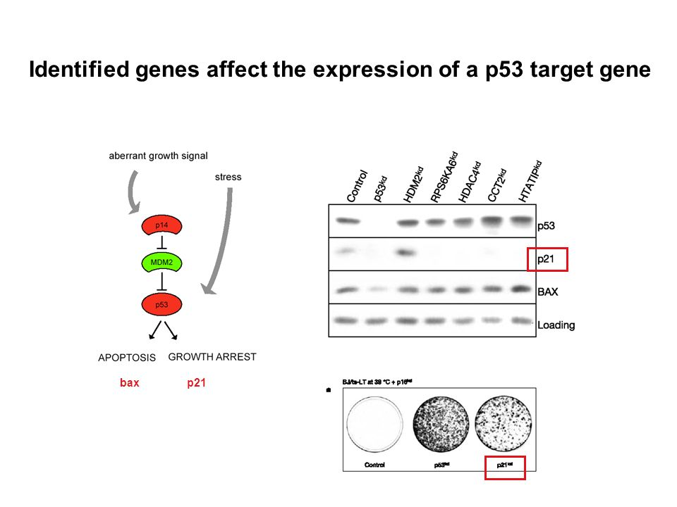 Identified genes affect the expression of a p53 target gene