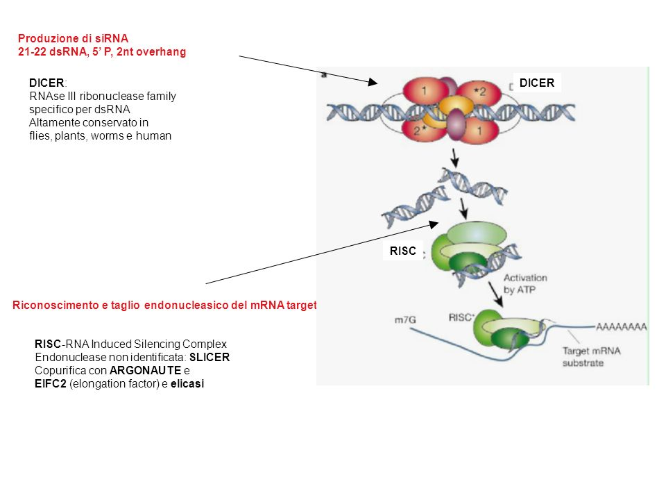 DICER: RNAse III ribonuclease family. specifico per dsRNA. Altamente conservato in. flies, plants, worms e human.