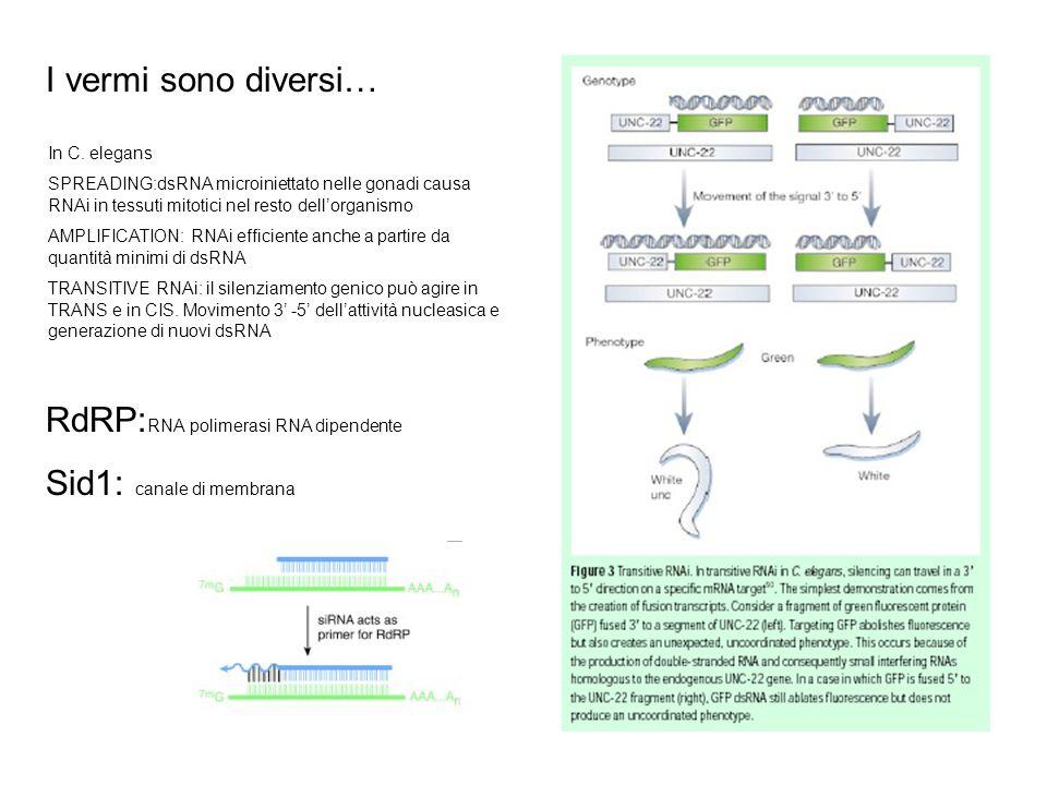 RdRP:RNA polimerasi RNA dipendente Sid1: canale di membrana
