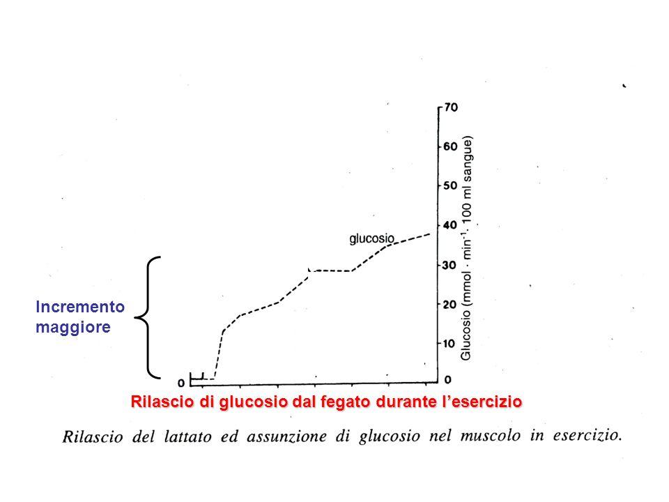 Rilascio di glucosio dal fegato durante l'esercizio