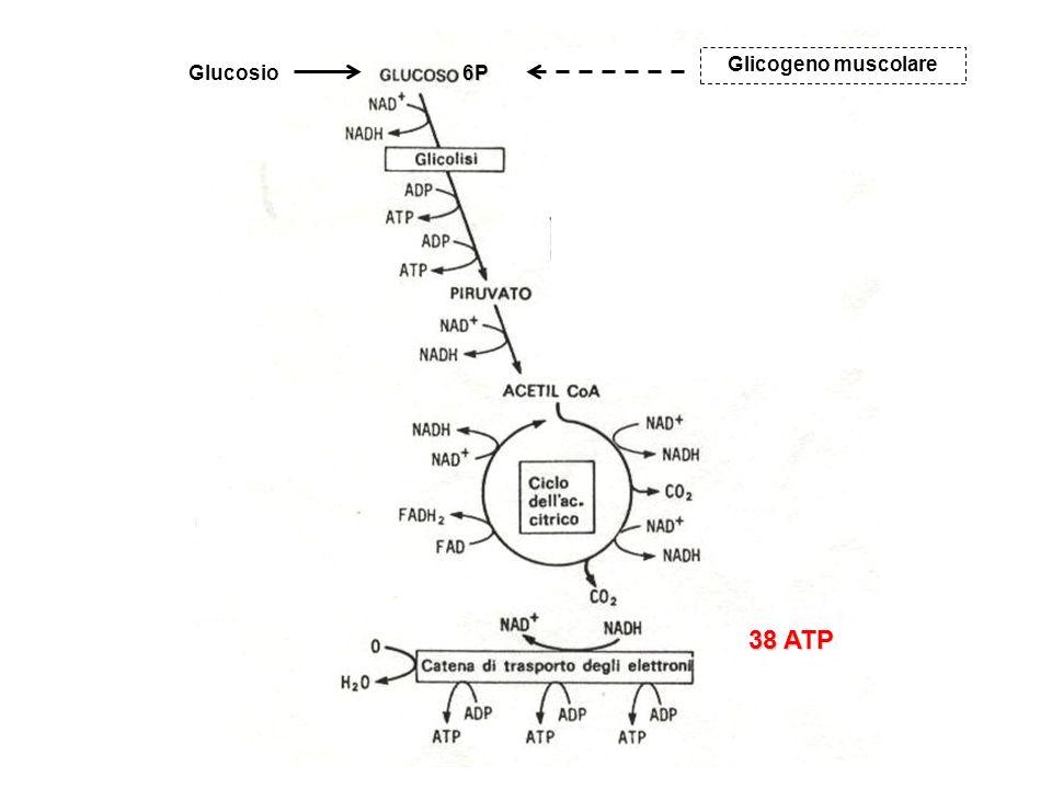 Glicogeno muscolare Glucosio 6P 38 ATP