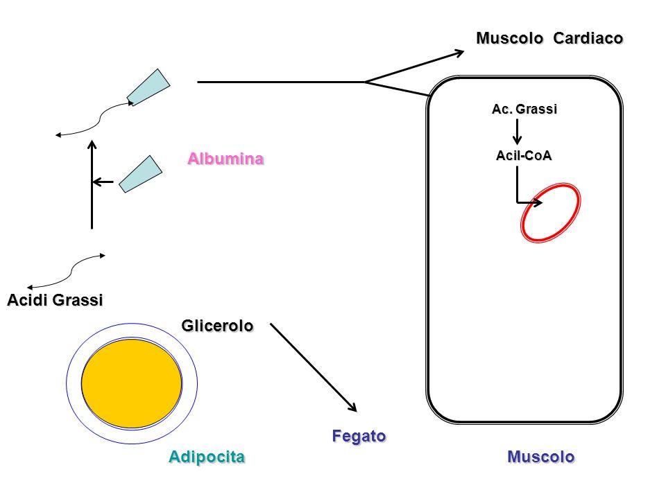 Muscolo Adipocita Glicerolo