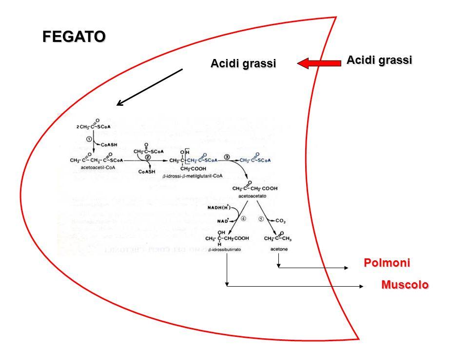 FEGATO Acidi grassi Acidi grassi Polmoni Muscolo