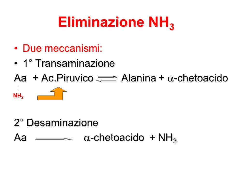 Eliminazione NH3 Due meccanismi: 1° Transaminazione
