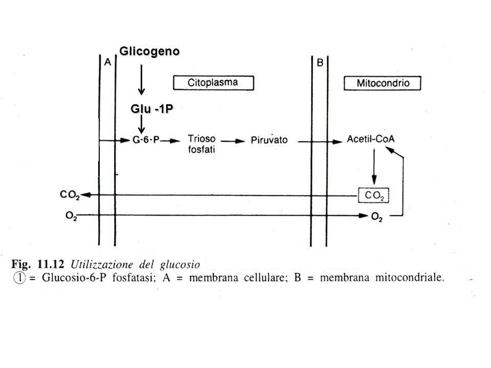Glicogeno Glu -1P