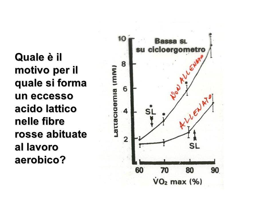 Quale è il motivo per il quale si forma un eccesso acido lattico nelle fibre rosse abituate al lavoro aerobico