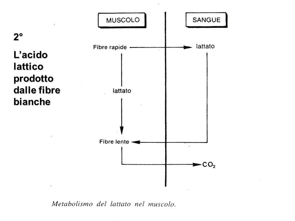 2° L'acido lattico prodotto dalle fibre bianche