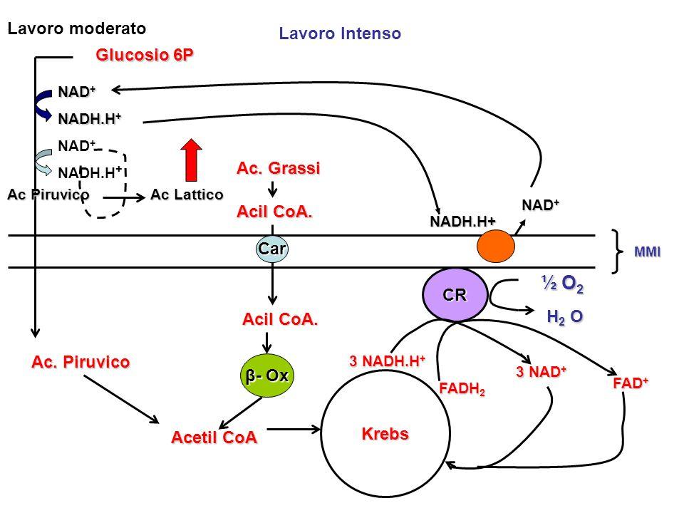½ O2 Lavoro moderato Lavoro Intenso Glucosio 6P Ac. Grassi Acil CoA.