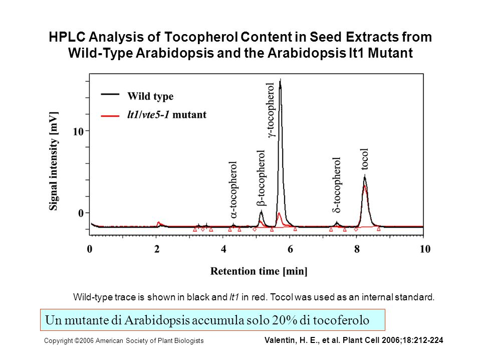 Un mutante di Arabidopsis accumula solo 20% di tocoferolo