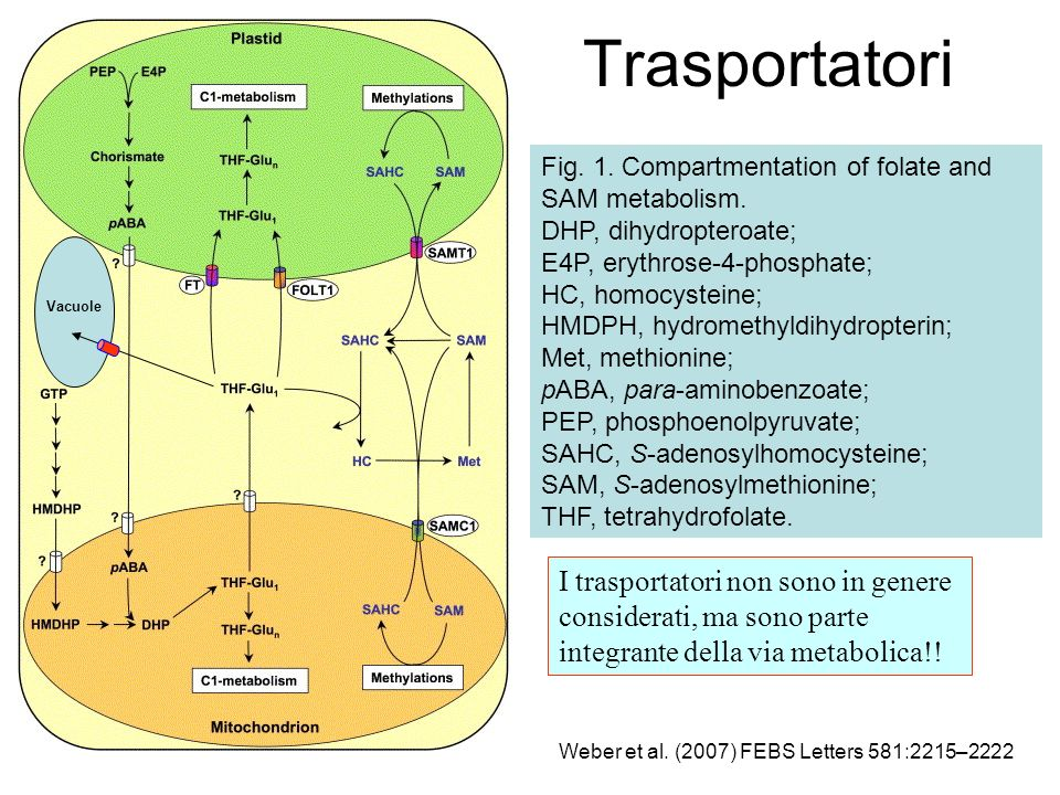 Trasportatori Fig. 1. Compartmentation of folate and SAM metabolism. DHP, dihydropteroate; E4P, erythrose-4-phosphate;