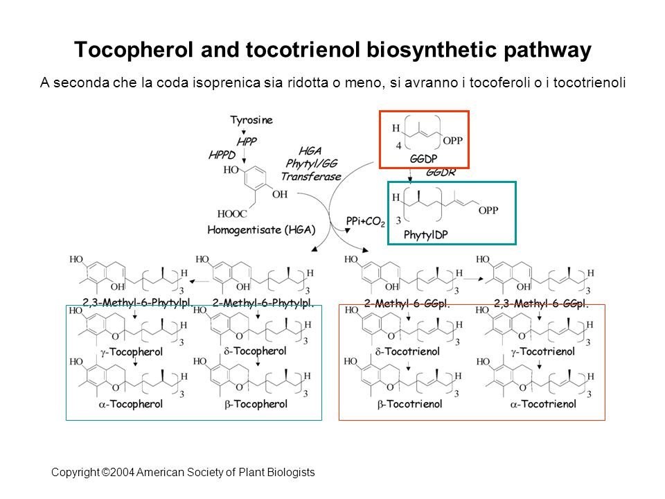 Tocopherol and tocotrienol biosynthetic pathway
