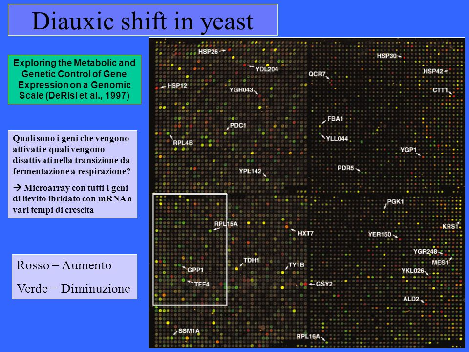 Diauxic shift in yeast Rosso = Aumento Verde = Diminuzione