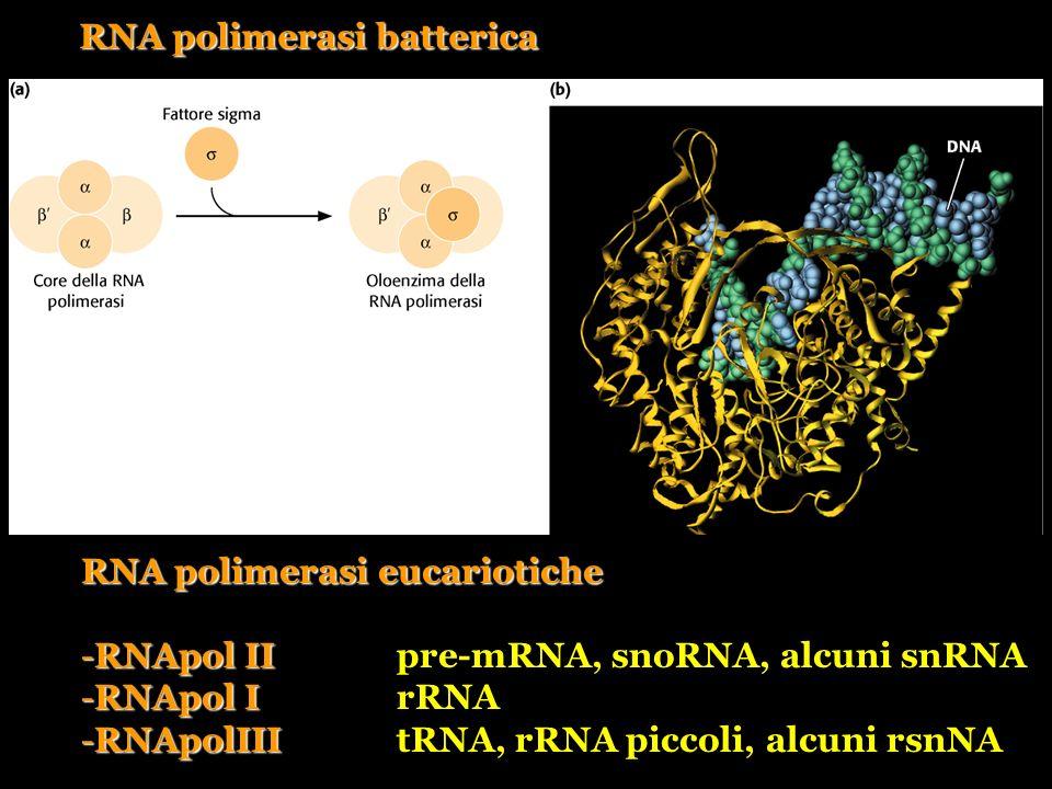 RNA polimerasi batterica