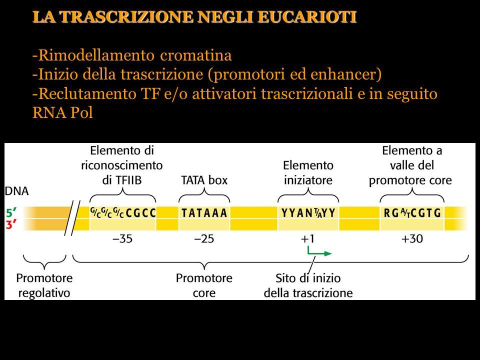 LA TRASCRIZIONE NEGLI EUCARIOTI Rimodellamento cromatina