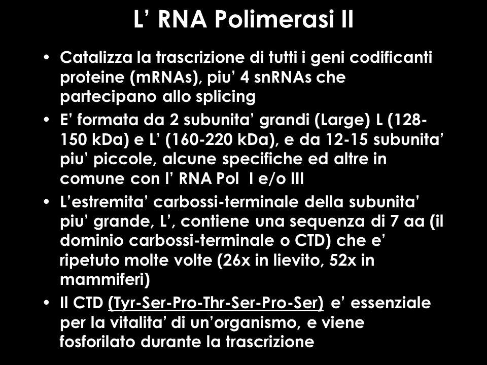 L' RNA Polimerasi II Catalizza la trascrizione di tutti i geni codificanti proteine (mRNAs), piu' 4 snRNAs che partecipano allo splicing.