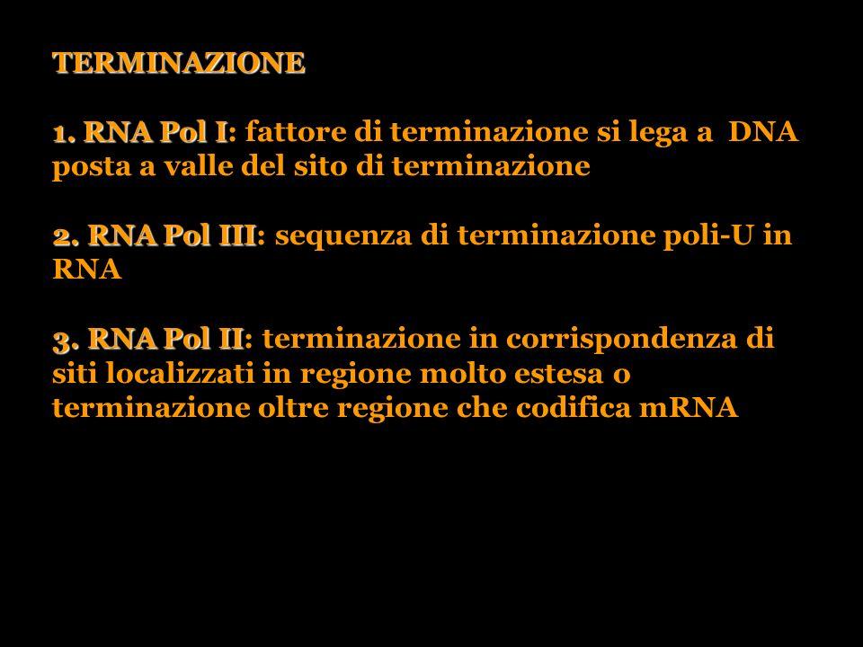 2. RNA Pol III: sequenza di terminazione poli-U in RNA