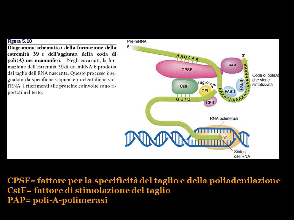 CPSF= fattore per la specificità del taglio e della poliadenilazione