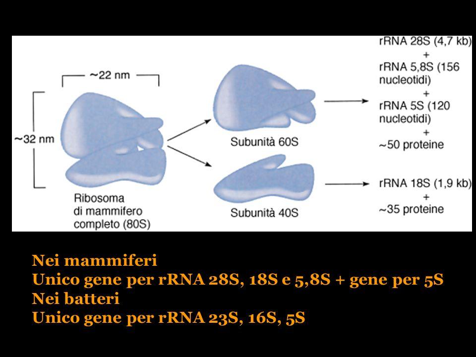 Unico gene per rRNA 28S, 18S e 5,8S + gene per 5S Nei batteri