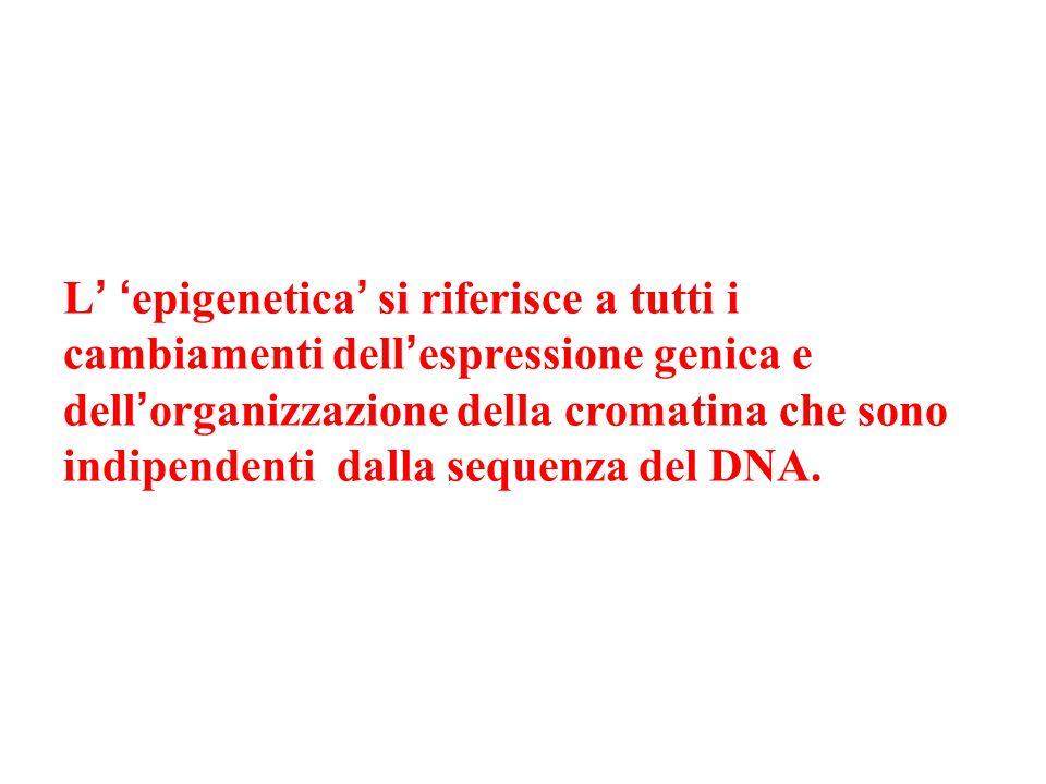L' 'epigenetica' si riferisce a tutti i cambiamenti dell'espressione genica e dell'organizzazione della cromatina che sono indipendenti dalla sequenza del DNA.