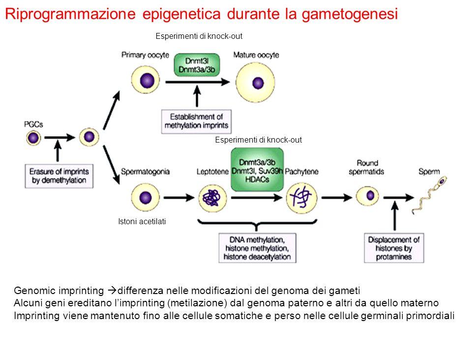 Riprogrammazione epigenetica durante la gametogenesi
