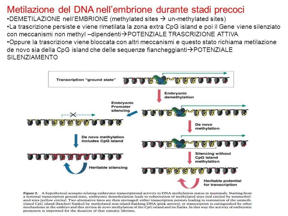 Metilazione del DNA nell'embrione durante stadi precoci