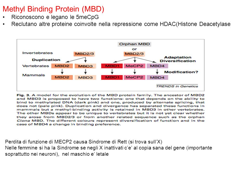 Methyl Binding Protein (MBD)