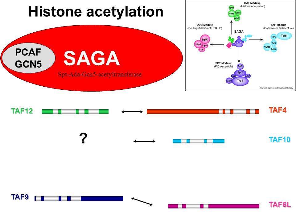 SAGA Histone acetylation PCAF GCN5 TAF4 TAF12 TAF10 TAF9 TAF6L