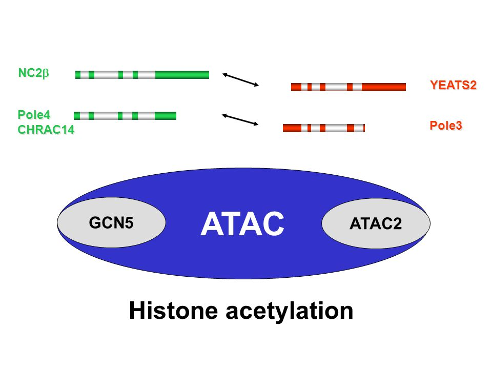 ATAC Histone acetylation GCN5 ATAC2 NC2b YEATS2 Pole4 CHRAC14 Pole3