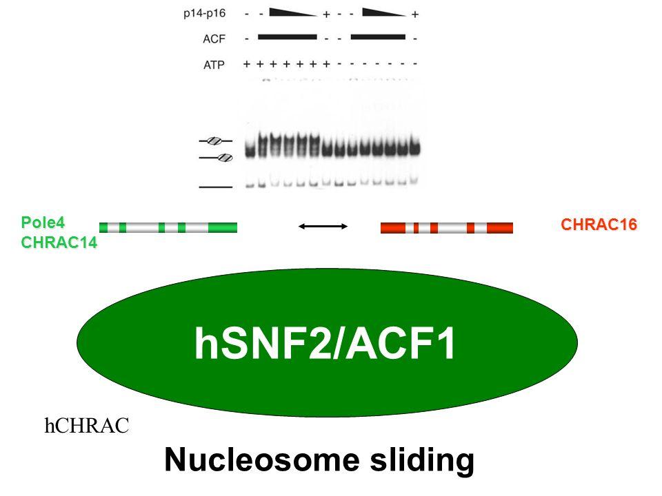 hSNF2/ACF1 Nucleosome sliding hCHRAC Pole4 CHRAC16 CHRAC14