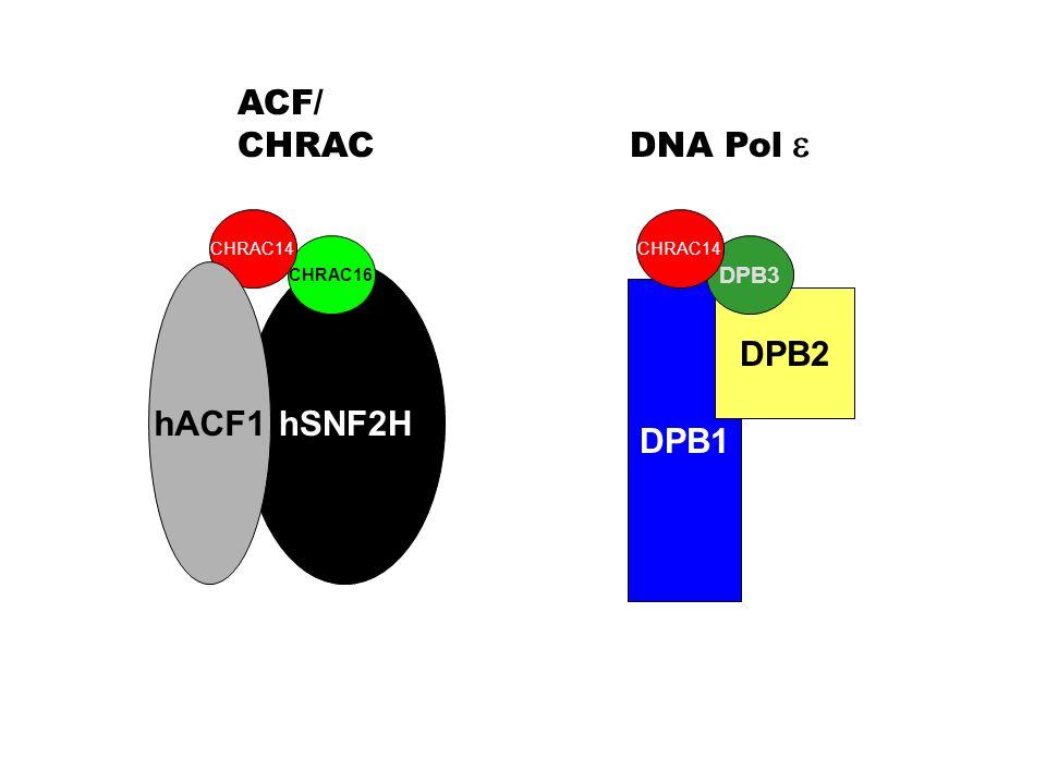 ACF/ CHRAC DNA Pol e hACF1 hSNF2H DPB1 DPB2 DPB3 CHRAC14 CHRAC14