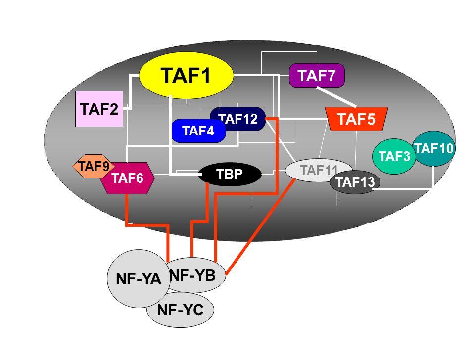 TAF1 TAF7 TAF2 TAF5 NF-YA NF-YB NF-YC TAF12 TAF4 TAF10 TAF3 TAF9 TAF11