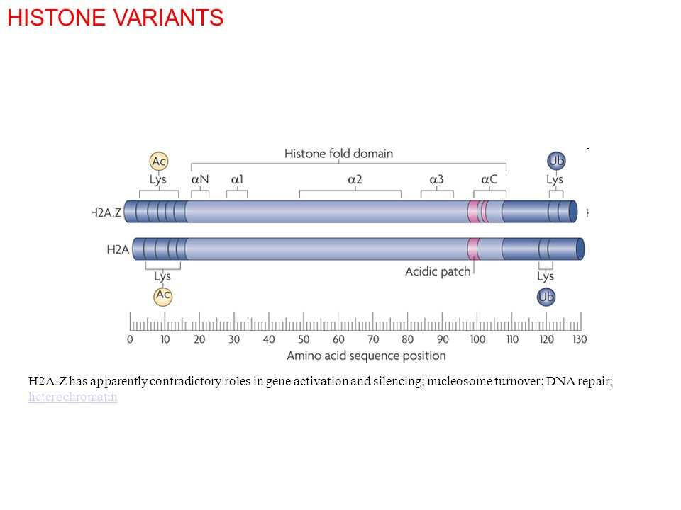 HISTONE VARIANTSH2A.Z has apparently contradictory roles in gene activation and silencing; nucleosome turnover; DNA repair; heterochromatin.