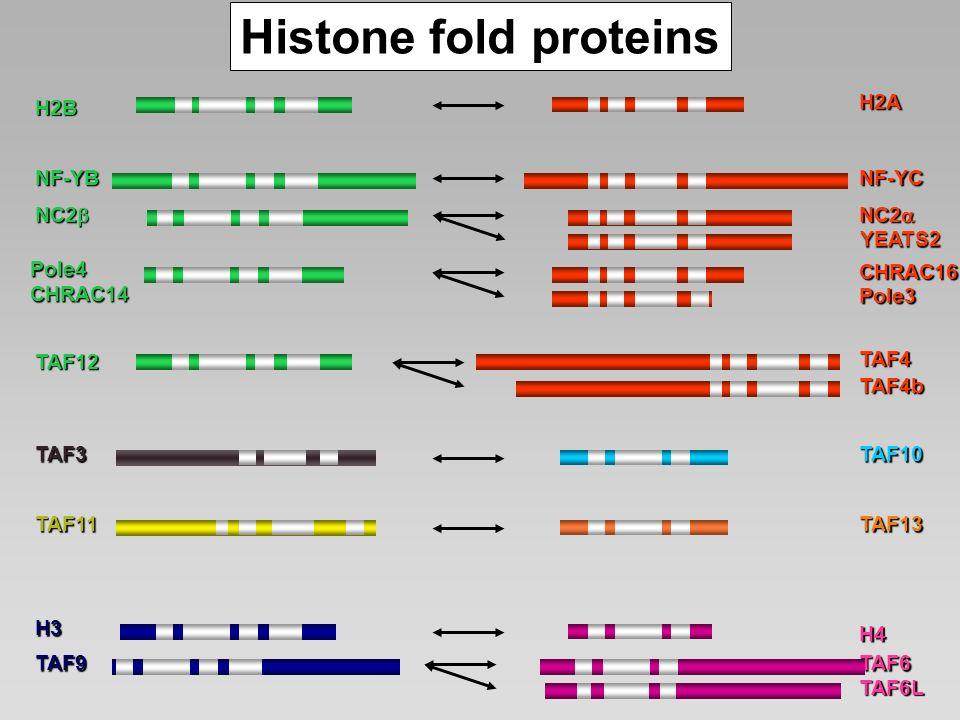 Histone fold proteins H2A H2B NF-YB NF-YC NC2b NC2a YEATS2 Pole4