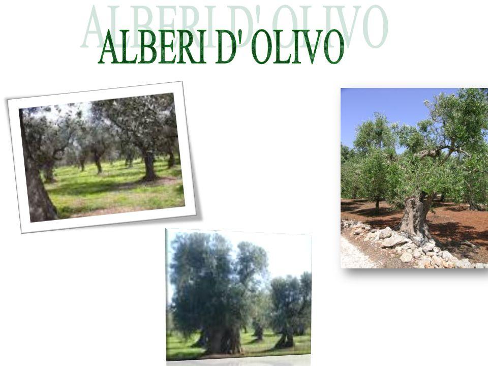ALBERI D OLIVO
