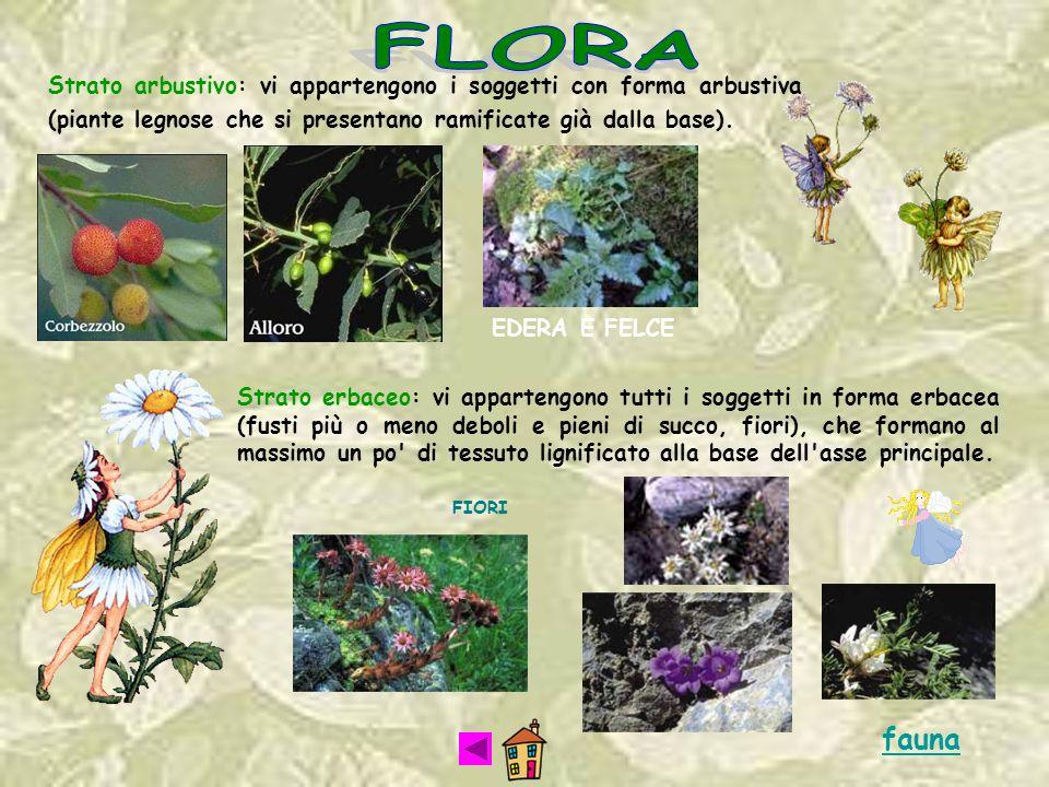 FLORA Strato arbustivo: vi appartengono i soggetti con forma arbustiva (piante legnose che si presentano ramificate già dalla base).