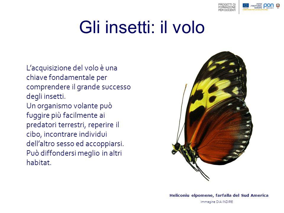 Heliconiu elpomene, farfalla del Sud America