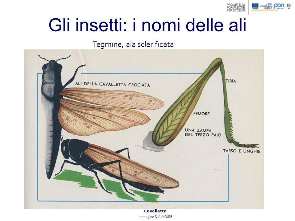 Gli insetti: i nomi delle ali