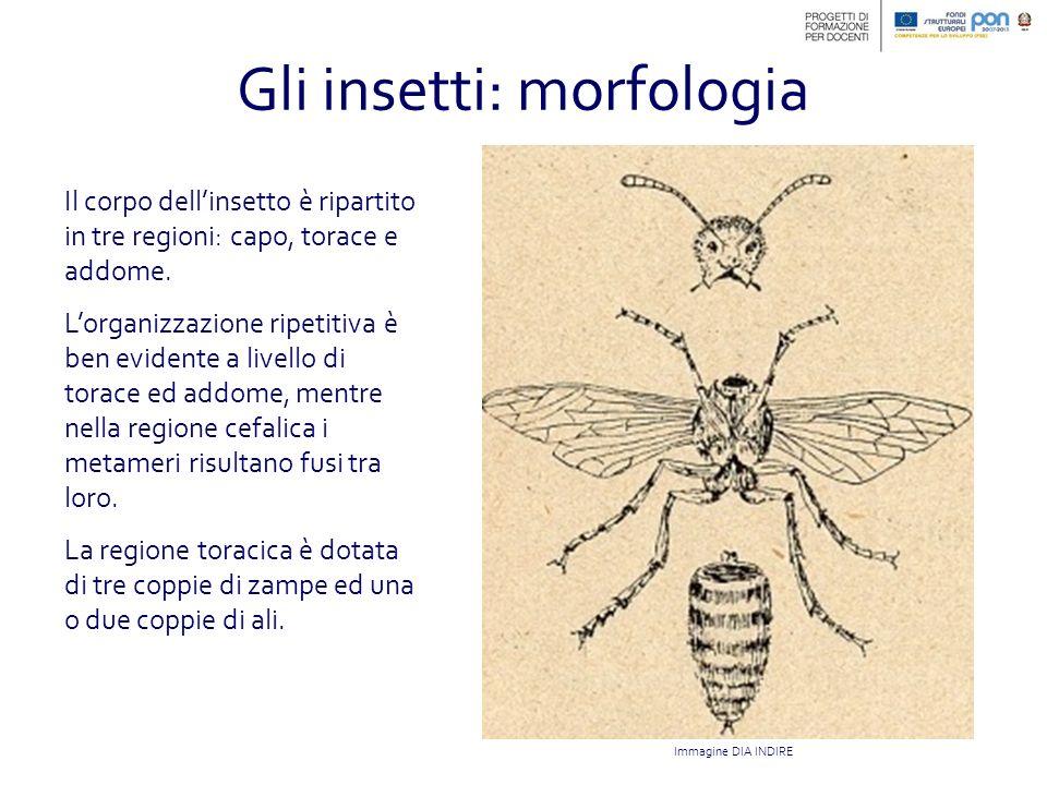 Gli insetti: morfologia