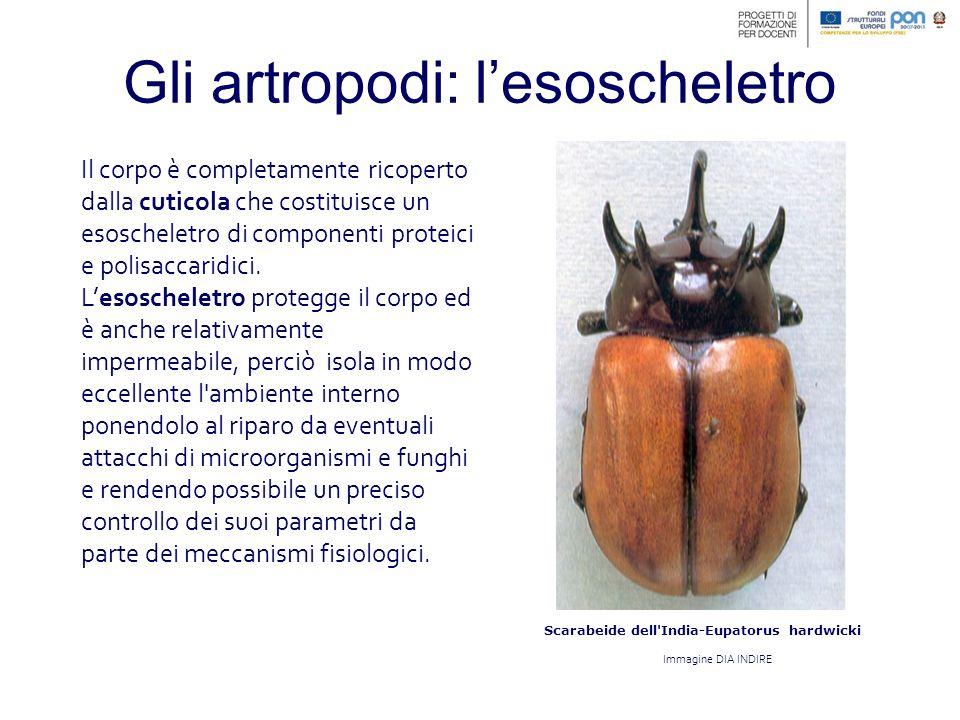 Scarabeide dell India-Eupatorus hardwicki