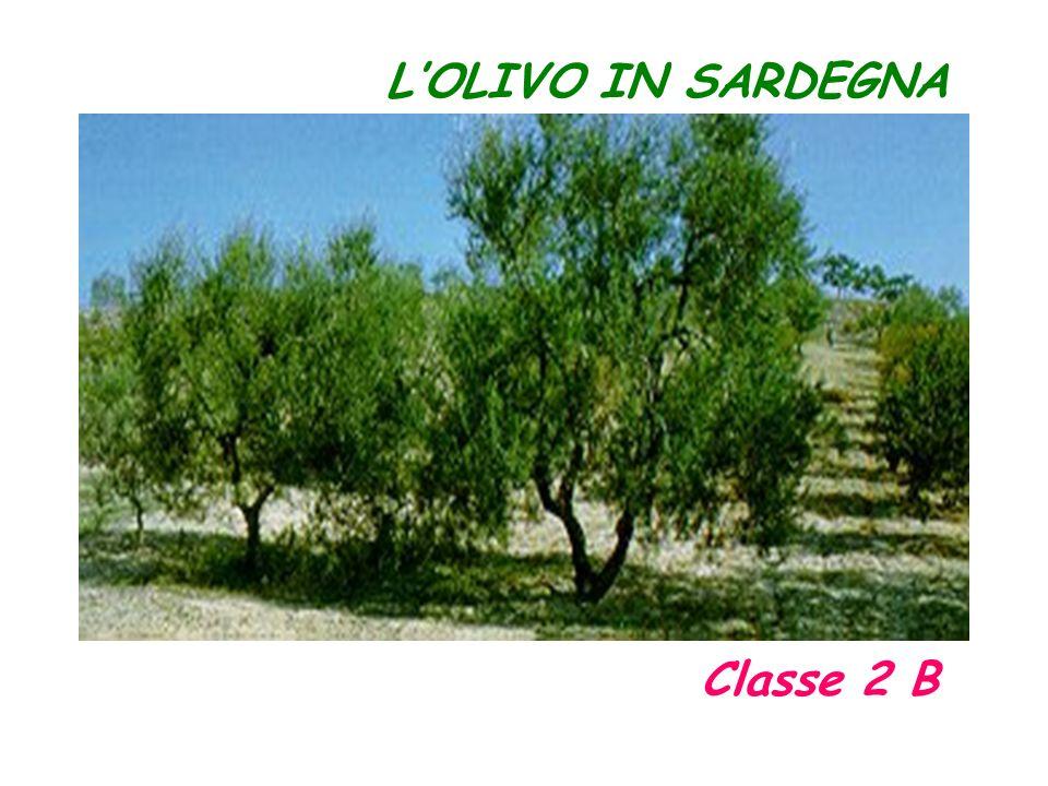 L'OLIVO IN SARDEGNA Classe 2 B