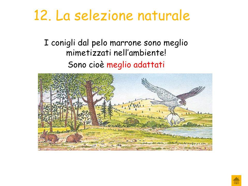 12. La selezione naturale I conigli dal pelo marrone sono meglio mimetizzati nell'ambiente.