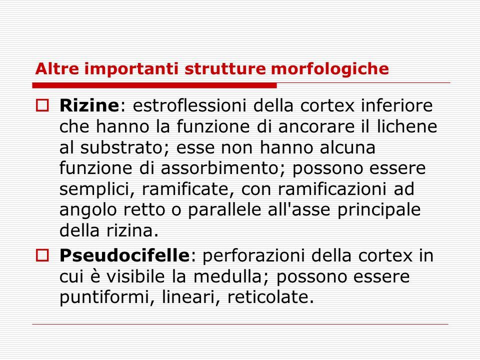 Altre importanti strutture morfologiche