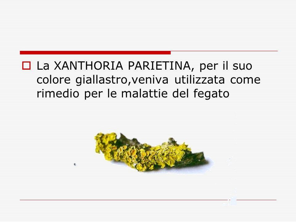 La XANTHORIA PARIETINA, per il suo colore giallastro,veniva utilizzata come rimedio per le malattie del fegato